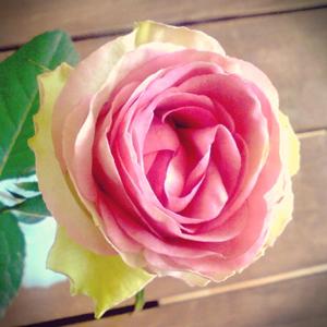 バラは枯れぎわが美しい