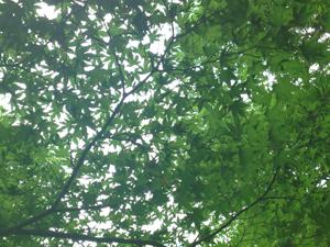 やわらかく美しい木漏れ日